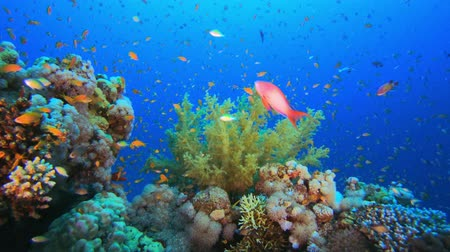 coral garden : Colorful Fish and Soft Broccoli Coral. Tropical underwater sea fishes. Underwater fish reef marine. Tropical colorful underwater seascape. Underwater reef. Reef coral scene. Coral garden seascape. Colorful tropical coral reefs