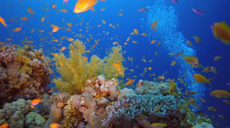 scuba diving : Colorful Fish and Soft Broccoli Coral. Underwater tropical colorful soft-hard corals broccoli coral (Litophyton arboreum) and  scalefin anthias (Pseudanthias squamipinnis), Underwater fish reef marine, Tropical colorful underwater seascape, Reef coral sce