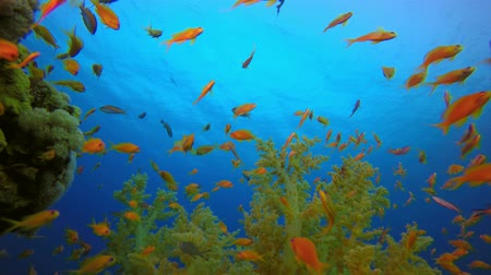 mond : Colorful Underwater Fish and Soft Coral. Underwater tropical colorful soft-hard corals broccoli coral (Litophyton arboreum) and  scalefin anthias (Pseudanthias squamipinnis), Underwater fish reef marine, Tropical colorful underwater seascape, Reef coral s