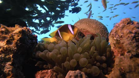 mergulhador : Tropical Clownfish and Sea Anemones. Underwater tropical colorful clown-fish (Amphiprion bicinctus) and sea anemones. Underwater fish reef marine. Tropical colorful underwater seascape. Reef coral scene. Coral garden seascape. Colorful tropical coral reef Stock Footage