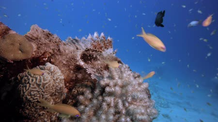 coral garden : Tropical Underwater Scorpionfish. Underwater tropical  scorpion-fish (Scorpaenopsis oxycephala), Underwater fish reef marine, Tropical colorful underwater seascape, Reef coral scene, Coral garden seascape, Colorful tropical coral reefs