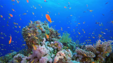 yaban hayatı : Tropical Underwater View. Underwater colorful sea fish. Tropical reef marine, Corals tropical life. Colorful underwater seascape. Soft-hard corals seascape. Reef coral scene. Coral garden. underwater happy orange fish Stok Video