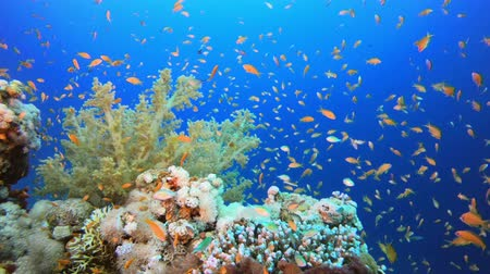 coral garden : Underwater Ambience. Tropical underwater sea fishes. Underwater fish reef marine. Tropical colorful underwater seascape. Soft hard coral broccoli. Reef coral scene. Coral garden seascape. Colorful tropical coral reefs
