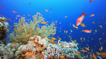 coral garden : Underwater Colourful Background. Tropical underwater sea fish. Underwater fish reef marine. Soft and hard corals. Underwater fish garden reef. Reef coral scene. Coral garden seascape. Colorful tropical coral reefs.