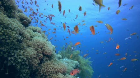 Colourful Fish and Soft Coral. Underwater sea fish. Tropical fish reef marine. Colourful underwater seascape. Soft-hard corals seascape. Reef coral scene. Coral garden seascape. underwater ambience coral reefs Vídeos