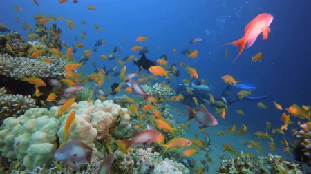Colourful Underwater Seascape and Diver. Tropical underwater sea fish. Underwater fish reef marine. Soft and hard corals. Underwater fish garden reef. Reef coral scene. Coral garden seascape. Colourful tropical coral reefs. Vídeos