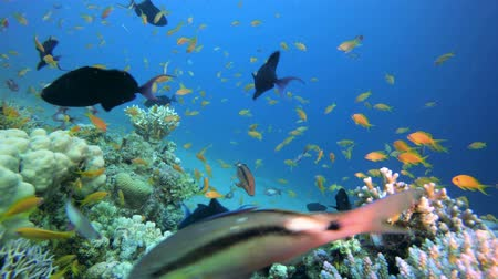 Fish Reefs Seascape. Tropical underwater sea fish. Colourful tropical coral reef. Scene reef.  Marine life sea world. Underwater fish reef marine. Tropical colourful underwater seascape. Underwater fish garden reef. Reef coral scene. Coral garden seascape Vídeos