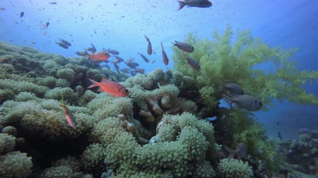 Tropical Coral Reefs. Tropical fish reef marine. Soft-hard corals seascape. Vibrant coral garden. Reef coral scene. Beautiful soft coral. Sea coral reef. Soft coral broccoli. Coral scene