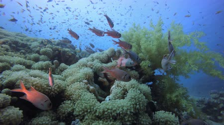 Tropical Sea Fishes Underwater. Fish scenery. Soft-hard corals seascape. Vibrant coral garden. Colourful underwater ambience. Beautiful soft coral. Sea coral reef. Soft coral broccoli. Coral scene