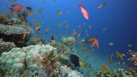 yaban hayatı : Underwater Beautiful Scene. Fish scenery. Soft-hard corals seascape. Vibrant coral garden. Colourful underwater ambience. Beautiful soft coral. Sea coral reef. Soft coral broccoli. Coral scene Stok Video