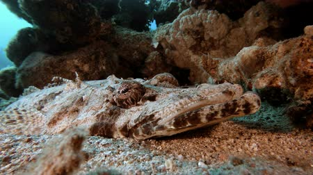 crocodilo : Underwater Crocodile Fish. Picture of flat-head crocodile-fish (Papilloculiceps longiceps) in the tropical reef of the Red Sea Dahab Egypt.