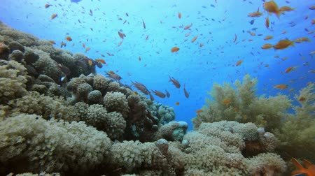 Underwater Reef Coral Scene. Tropical underwater sea fishes. Underwater fish reef marine. Tropical colourful underwater seascape. Underwater reef. Reef coral scene. Coral garden seascape. Colourful tropical coral reefs