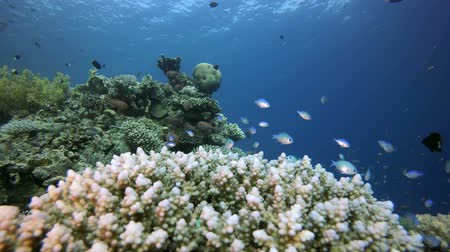 Underwater Scene Marine Life. Underwater fish reef blue-green chromis (Chromis viridis) and fire corals. Tropical colourful underwater seascape. Underwater reef. Reef coral scene. Coral garden tropical seascape. Colourful tropical sea coral reef