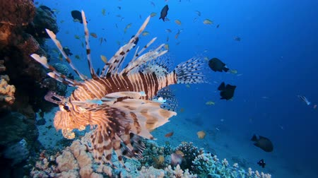 Underwater Scene Lion-Fish. Tropical underwater fish reef marine lion-fish (Pterois miles). Tropical colourful underwater seascape. Reef coral scene coral reef. Colourful tropical coral reefs. Marine life fish garden Vídeos