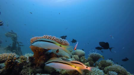 Underwater Fish and Coral Garden. Underwater sea fish. Tropical fish reef marine. Colourful underwater seascape. Soft-hard corals seascape. Reef coral scene. Coral garden seascape. Underwater ambience coral reefs