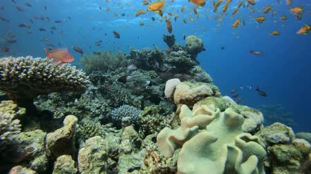 Underwater Coral Reef Marine. Underwater sea fish. Tropical fish reef marine. Colourful underwater seascape. Soft-hard corals seascape. Reef coral scene. Coral garden seascape. Underwater ambience coral reefs