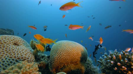 Tropical Seascape. Underwater sea fish. Tropical fish reef marine. Colourful underwater seascape. Soft-hard corals seascape. Reef coral scene. Coral garden seascape. Underwater ambience coral reefs