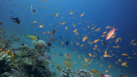 Tropical Fishes Seascape. Tropical underwater sea fishes. Underwater fish reef marine. Tropical colourful underwater seascape. Underwater reef. Reef coral scene. Coral garden seascape. Colourful tropical coral reefs Vídeos