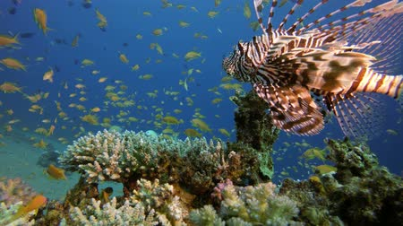 Tropical Lion-Fish Red Sea. Underwater fish reef marine lionfish (Pterois miles). Tropical colourful underwater seascape. Reef coral scene. Colourful tropical coral reefs. Marine life fish garden Vídeos