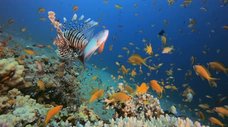 Marine Garden and Dancing Lion-Fish. Tropical underwater fish reef marine lion-fish (Pterois miles). Tropical colourful underwater seascape. Reef coral scene coral reef. Colourful tropical coral reefs. Marine life fish garden