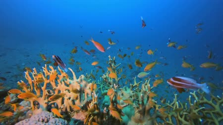 Fire Coral and Orange Fish. Underwater colourful sea fish. Tropical reef marine. Corals tropical life. Colourful underwater seascape. Soft-hard corals seascape. Reef coral scene. Coral garden. Underwater happy orange fish Filmati Stock