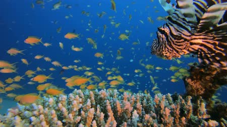 Lion-Fish and Beautiful Scene. Tropical underwater fish reef marine lion-fish (Pterois miles). Tropical colourful underwater seascape. Reef coral scene coral reef. Colourful tropical coral reefs. Marine life fish garden