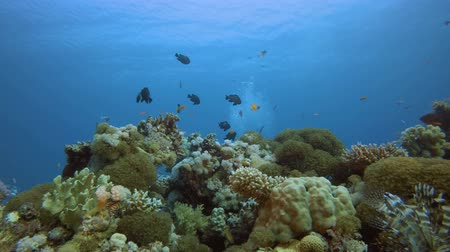 bir hayvan : Coral Garden Scene. Underwater colourful sea fish. Tropical reef marine. Corals tropical life. Colourful underwater seascape. Soft-hard corals seascape. Reef coral scene. Coral garden. Underwater happy orange fish