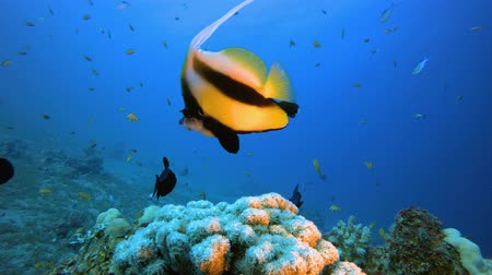 pesce leone : Underwater Colorful Butterfly-Fish. Underwater sea fish. Tropical fish reef marine. Colourful underwater seascape. Soft-hard corals seascape. Reef coral scene. Coral garden seascape. Underwater ambience coral reefs