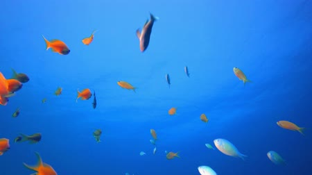 povrchové vody : Tropical Underwater Sea Fishes. Underwater colourful sea fish. Tropical reef marine. Corals tropical life. Colourful underwater seascape. Soft-hard corals seascape. Reef coral scene. Coral garden. Underwater happy orange fish