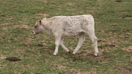 Video of a small cow walking around the meadow.