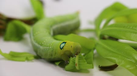 lagarta : Caterpillars eating leaves and collect food for accelerating growth. Prepare to pupate