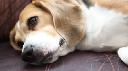 cão : beagle dog