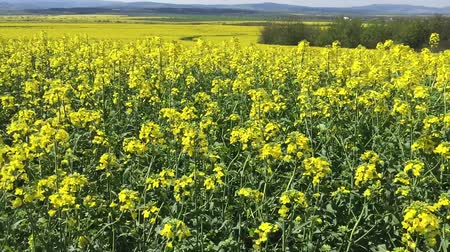 gregarious animal : Beautiful Yellow Oilseed Rape Flowers in the Field, panoramic Stock Footage