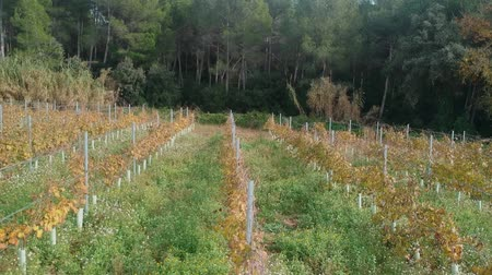 vintage pozadí : Grape bushes in a row next to the winery. Drone view after harvest in the fall Dostupné videozáznamy
