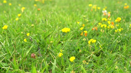 хрупкий : Small yellow flower sways in the wind in a field against a green grass