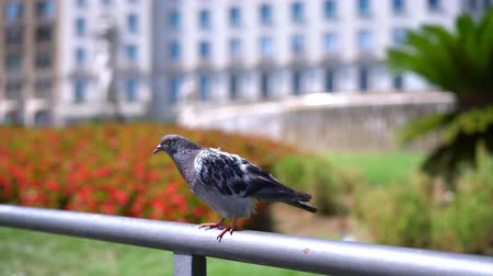 corrimão : Pigeon sits on a handrail against a background of a beautiful flower bed