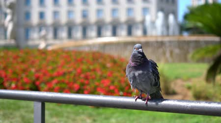 corrimão : Pigeon on a handrail against of a beautiful flower bed and a city fountain Vídeos
