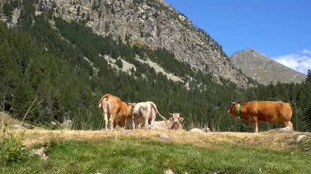 horská pastvina : cows graze in a meadow on a background of mountains in a national park
