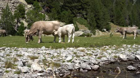 vemeno : calf drinks milk from the udder of a cow in a meadow near a mountain river