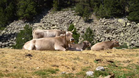 cows lie on the grass at the foot of the mountain and chew grass.