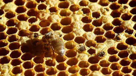 nascimento : birth Bee with honeycombs. close-up Stock Footage