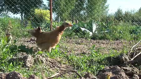 crows feet : broody chicken to walk in the summer for rural households
