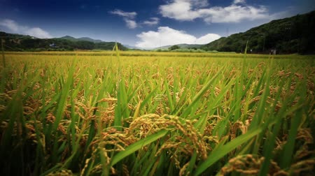 üretmek : close up of the gold Rice field in farmland food of Asia