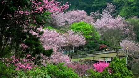 springtime : Beautiful Sakura place in Taiwan
