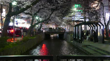 kyoto : KYOTO JAPAN  March 28 2015: Cherry blossom on river side in Kyoto. Stock Footage