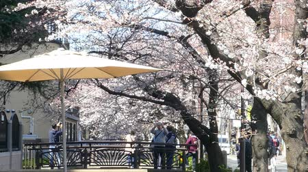 side view : KYOTO JAPAN  March 28 2015: Cherry blossom on river side in Kyoto. Stock Footage
