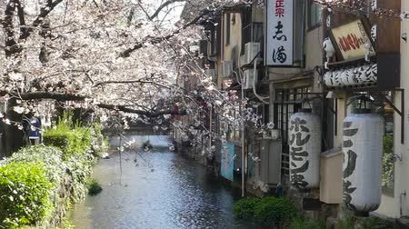 цветение : KYOTO JAPAN  March 28 2015: Cherry blossom on river side in Kyoto. Стоковые видеозаписи