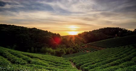 evening sun : time lapse of tea garden sunset with nice background