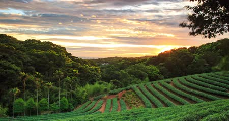 herbata : time lapse of tea garden sunset with nice background