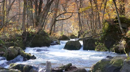 queda : Mysterious Oirase Stream flowing through the autumn forest in Towada Hachimantai National Park Vídeos